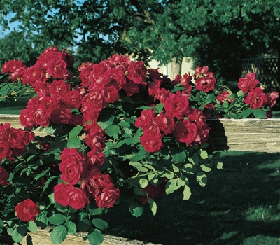 Cl Blaze Climbing Rose