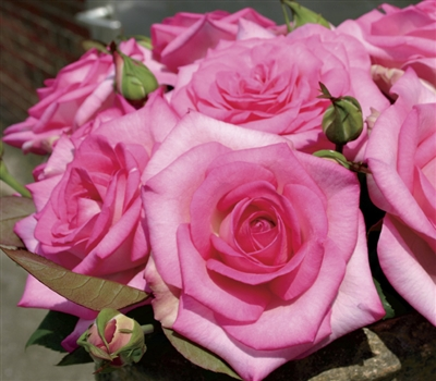 Fresh Pink Rose Flowers Beverly Hybrid Tea Ros...