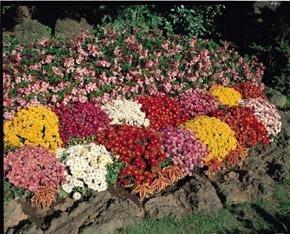 Chrysanthemum Morifolium Garden Mum Autumn Glory Larger Photo ...