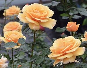 be161c0479a st tropez floribunda rose · Larger Photo ...