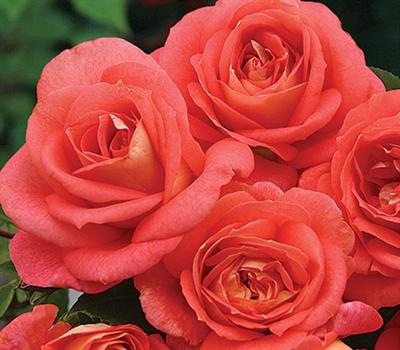 Summer Sun Floribunda Rose