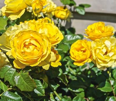 Walking On Sunshine Floribunda Rose